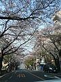 鷺沼桜並木.jpg
