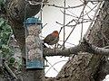 -2019-01-04 Robin (Erithacus rubecula), Trimingham, Norfolk (3).JPG