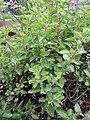 -2020-06-10 Oregano (Origanum vulgare), Trimingham, Norfolk.JPG