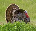 089 - WILD TURKEY (3-20-09) canet rd, sloco, ca (3) (8719904231).jpg