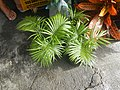0998Ornamental plants in the Philippines 51.jpg
