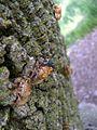 17-Year Periodical Cicada - Brood XIII (Magicicada sp.) - Flickr - Jay Sturner (6).jpg