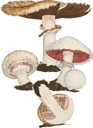 Partial veil - Developmental stages of Agaricus campestris showing the role and development of a partial veil