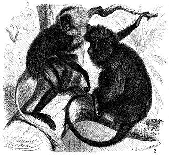 Black colobus - Black colobus (Colobus satanas) (right)