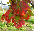 2006-10-22Vitis vinifera01.jpg