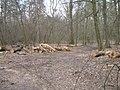 2009-04 Санітарними рубками намагаться знищити найцінніші дерева проектованого заказника Чернечий ліс (5).jpg