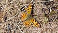 2012.04.13.-153-Kaefertaler Wald Mannheim-C-Falter.jpg