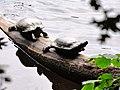 20120703 Schildpadden2 bij het Zwanemeer.jpg
