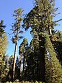 2013-09-20 09 26 03 Trees in Grant Grove.JPG
