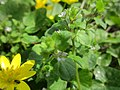20130416Veronica hederifolia2.jpg