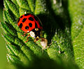 2014-05-28 17-47-19 Coccinellidae.jpg