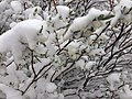2014-06-17 09 11 26 Snow in June on immature Willow foliage and catkins at Roads End in Lamoille Canyon, Nevada.jpg
