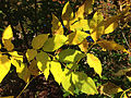 2014-10-29 12 52 52 Green Ash foliage during autumn leaf coloration and other small tree foliage in Ewing, New Jersey.JPG