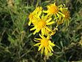 20141101Jacobaea vulgaris.jpg