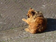 20141101 Hond Torenstraat Nes Ameland Fr NL.jpg