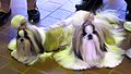 2014 Westminster Kennel Club Dog Show (12451570303).jpg