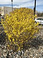 2015-03-16 14 46 19 Forsythia in bloom on Aspen Way in Elko, Nevada.JPG