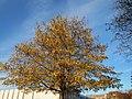 20151105Pterocarya fraxinifolia1.jpg
