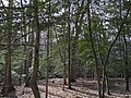 2016-03-01 14 28 10 American Holly thicket within Fred Crabtree Park in Reston, Fairfax County, Virginia.jpg
