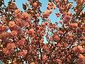 2016-04-15 19 26 59 'Kanzan' Japanese Cherry flowers in the light of the setting sun along Lake Center Plaza in Cascades, Loudoun County, Virginia.jpg