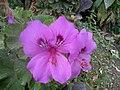 2016-05-18 14.37.13الزهرة البنفسجية....ساحة مدينة شرشال.jpg