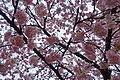 2016 366 74 Sakura (25772656516).jpg