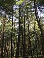 2017-09-10 13 24 14 View into the canopy of a grove of Eastern Hemlocks along the Cove Trail on the south side of Spring Lake's cove in Berlin, Rensselaer County, New York.jpg