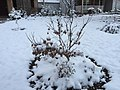 2017-12-10 07 24 41 A snow-covered Japanese Maple on the morning after a wet snowfall along Tranquility Court in the Franklin Farm section of Oak Hill, Fairfax County, Virginia.jpg