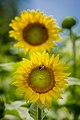 20170716-PJK-Sunflowers-0139TONED (35128727744).jpg
