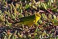 20180805-Yellow Warbler at Seymour Norte-17 (9310).jpg