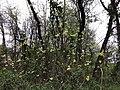 2019-04-14 18 42 26 A sassafras sapling flowering along a walking path in the Franklin Farm section of Oak Hill, Fairfax County, Virginia.jpg