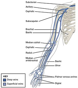2134 Thoracic Upper Limb Veins.jpg