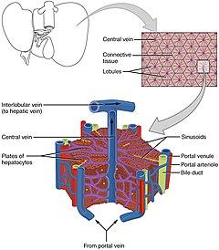 Liver - Wikipedia