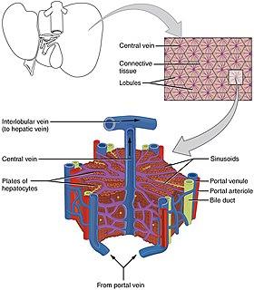 Lobules of liver