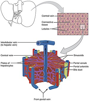 Lobules of liver - The structure of the liver's functional units or lobules. Blood enters the lobules through branches of the portal vein and hepatic artery proper, then flows through sinusoids.