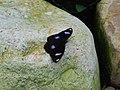 318.1琉球紫蛺蝶12(蔡鴻銘攝) (19038925472).jpg
