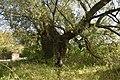 3 Stara wierzba - Lasmiady - 880cm.jpg