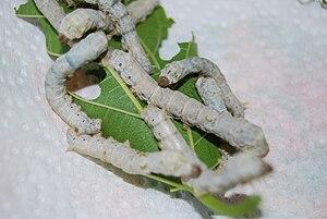 Edward Digges - Silkworm Larvae