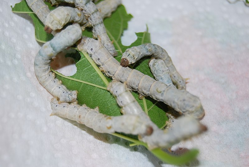 File:4thInstarLarvae3500px.jpg