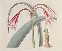 546 Crinum bulbispermum (as Amaryllis longifolia var. riparia)