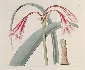 The Botanical Register - Crinum bulbispermum Plate 546