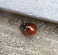 7-spot Ladybird. Coccinella 7-punctata. - Flickr - gailhampshire.jpg