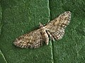70.148 BF1812 Maple Pug Eupithecia inturbata, female. (9470482439).jpg