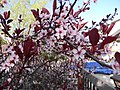 9Cherry blossoms.JPG