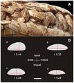 A-New-Basal-Sauropodomorph-(Dinosauria-Saurischia)-from-Quebrada-del-Barro-Formation-(Marayes-El-pone.0026964.g005.jpg
