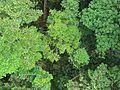 ACTS Canopy Walkway - Flickr - pellaea (1).jpg