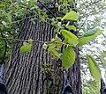 AZ0116. Ulmus x hollandica (curled Leaves). Royal Circus Gardens, Edinburgh. (01).jpg