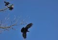A Pair of Crows Chasing a Raven, Red Hill Valley.JPG