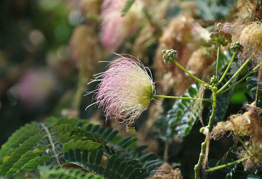 A Silk tree in Corsica