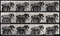 A cart-horse walking. Photogravure after Eadweard Muybridge, Wellcome V0048729.jpg